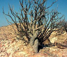 Genus Adenia: Adenia aculeata