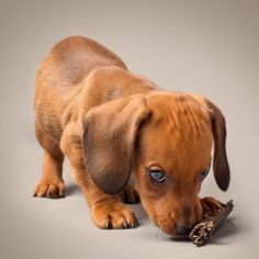 Make Massive Change To Your Dachshund´s Behaviour in Just 1 Day! - dachshund #dachshund
