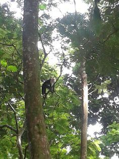 Mono Cara-Blanca, fauna de Costa Rica
