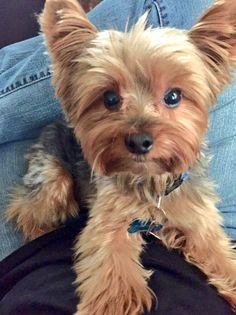 Die 112 Besten Bilder Von Biewer Yorkshire Terrier Cute Puppies