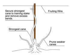 Grapevine pruning - starting with 1st year vines to mature vines.