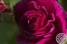 Rose petals in sugar  - #recipe #recipes #food http://www.jarekrak.com/1/post/2013/06/rose-petals-in-sugar.html