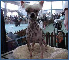 Peruvian Inca Orchid/Hairless dog