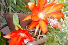 Veliki cvetovi kaktusa - narandžasto crvene boje