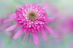 Cosmos 'Southern Belle' by Jacky Parker on 500px