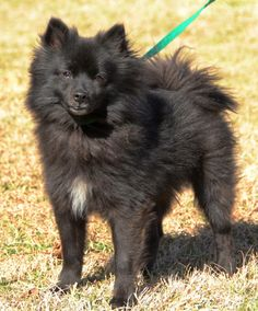 Prince is a super nice young adult neutered male Pomeranian that is black with a little white on his chest.   He is a very social dog that loves everyone, especially children, and is very mannerly.    His long hair coat will require some grooming...