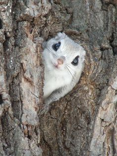 what a face! Japanese dwarf flying squirrel
