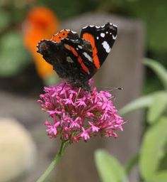 Views from my Garden Gate: Red Admiral on Red Valarian in my garden