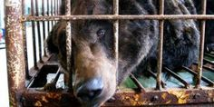 Breaking News! Animals Asia Reaches Historic Agreement To End Bear Bile Farming In Vietnam