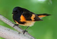 song birds   Songbirds invade Northeast Ohio, sparking the best bird-watching ...