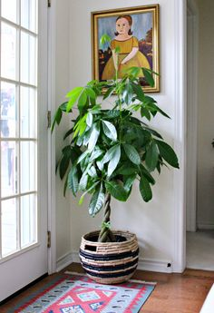 House plants need a great deal of care just like any other living being does. In order to keep house plants in good condition take proper care of watering. Cactus House Plants, House Plants Decor, Plant Decor, Big Indoor Plants, Indoor Trees, Hanging Plants, West Elm, Houseplants Safe For Cats, Pachira Aquatica