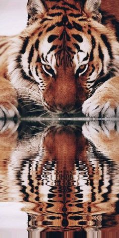 Reflection – Tiger – Big Cats – Vision – # Big # … - Gave Ideer Most Beautiful Animals, Majestic Animals, Beautiful Cats, Beautiful Creatures, Wildlife Photography, Animal Photography, Food Photography, Animals And Pets, Cute Animals