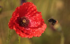week in wildlife: A bee flies near poppies that are blooming in a field