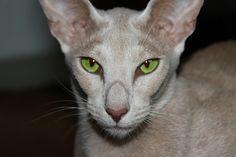 猫, 緑の目, オリエンタルショートヘアー, 居心地のよい, 近さ, 毛皮, 魅力的です, 動物, 美しい