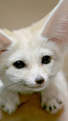 Fennec fox| Flickr – Photo Sharing!