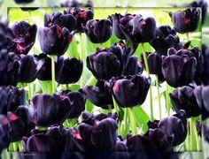 Spring in Netherlands #tulips