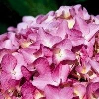 Hydrangea - All Summer Beauty This Hydrangea blooms on both old and new wood, so you'll also be assured a gorgeous display even if late frosts damage those first spring buds.  Then in fall your All Summer Beauty will give another blast of color with its foliage turning to a lively yellow!  As with other Hydrangeas, the color depends on the soil conditions.