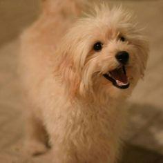 My little teddy Little Puppies, Dogs, Animals, Animales, Tiny Puppies, Animaux, Small Puppies, Pet Dogs, Doggies