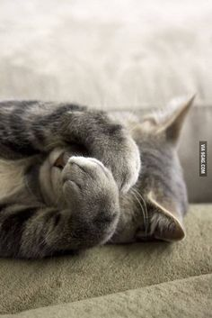 Shy cat with paws over face