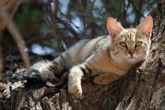 Felis silvestris cafra gatto selvatico sudafricano