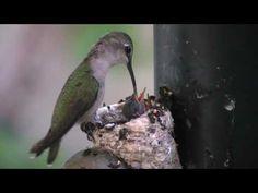 Mother Humingbird feeding baby