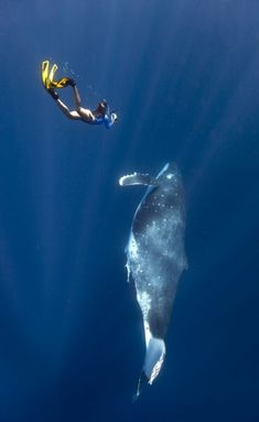 Top 10 encounters with marine creatures in Australia | At Queensland's Hervey Bay you can swim with humpback whales.