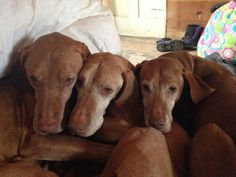 A pile of vizslas! How I miss our old girls.