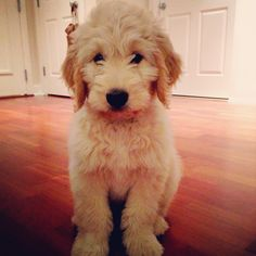 Just someone get me a puppy right now.  #wellsthegoldendoodle #goldendoodles