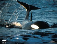 cool shot of orca whale