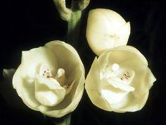 L'orchidée colombe (Peristeria elata)