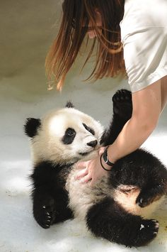 #53 on my bucket list: tickle a baby panda bear. Absolutely on there Polar bears are just too cute for words! eg