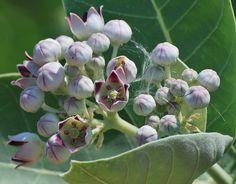 Algodão de seda Flor de cera