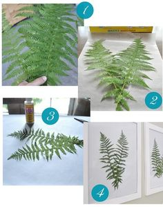1) Gather fern fronds 2) Lay fronds between wax paper and press flat between large heavy books for 2-3 days. 3) Lay flattened ferns on paper and affix to paper with a tiny bit of Mod Podge or craft glue, 4) display behind glass in frames.