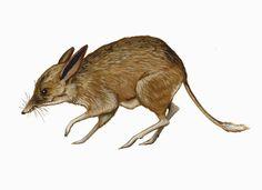 Pig-footed bandicoot (Chaeropus ecaudatus). Distribution: Australia.  Population: Extinct (IUCN 2008); not seen in wild since 1901.  Threats: Habitat modification, disease and predation. www.bornfreeusa.org/cites