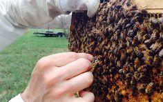 Ορεινή Μέλισσα: Παραφυάδες χωρίς μεταφορά