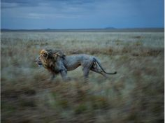 An amazing shot of a lion racing across the Serengeti by photographer, Michael Nichols.