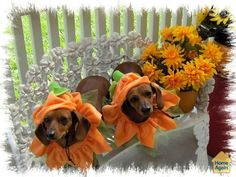 Annabel & Lucy in Flower costumes for a nice spring day  #flowerdogcostume
