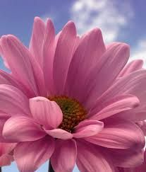 Daisy flowers with white and yellow in the middle, it's very interesting flower to me. Yellow Daisies, Pink Daisy, Gerbera Daisies, Daisy Flowers, Amazing Flowers, Pretty In Pink, Beautiful Flowers, Daisy Art, Shade Garden Plants