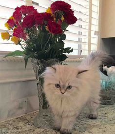 #persian #kittens #cute #creme persian Persiankittenpals.com , sweet persian kitten creme with points