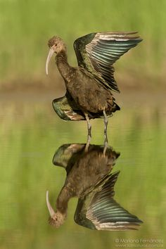 The White-faced Ibis (Plegadis chihi) is a wading bird in the ibis family Threskiornithidae. This species breeds colonially in marshes, usually nesting in bushes or low trees. Its breeding range extends from the western USA south through Mexico, as well as from southeastern Brazil and southeastern Bolivia south to central Argentina, and along the coast of central Chile. Its winter range extends from southern California and Louisiana south to include the rest of its breeding range.