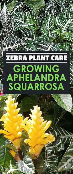 Aphelandra Squarrosa: 16 Best Zebra Plant Images