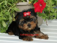 Teacup Yorkie puppy for sale in Point Comfort,Texas.