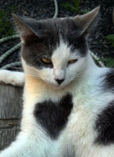A cat with heart shaped fur on its chest - hearts in nature