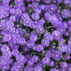Pig Face Mauve - Mesembryanthemum crystallinum Bunches of attractive mauve daisy-like flowers that open in the sunlight during the summer months. Prefers full sun and requires little water once established. Suitable for rockeries and low maintenance gar Garden Privacy, Garden Gate, Plants Under Trees, Garden Express, Drought Resistant Plants, Ice Plant, Australian Garden, Low Maintenance Garden, Colorful Garden