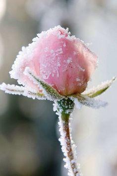 winter, snow,flowers
