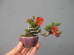 """Baby"" Bonsai 56  ~  盆栽:長寿梅が花盛り|春嘉の盆栽工房"