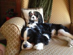 Puppy sleeping with mom's favorite pillow. #cavalier King Charles