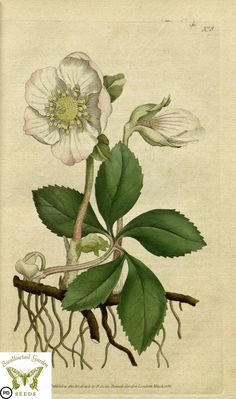 Christmas rose. Helleborus niger. Botanical Magazine vol.1, J.Sowerby (1787) | by Swallowtail Garden Seeds