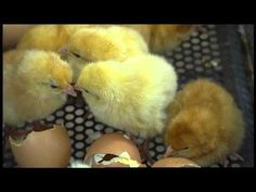 WONDERFUL VIDEO - Covers a bit of everything. The Little Chick Company - It All Starts With An Egg - For Kids - YouTube