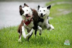 Brownie & kira border collie